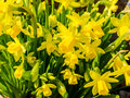 Daffodils flowering yellow in flowerbed in spring Royalty Free Stock Images