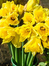 Daffodils flowering yellow for sale at easter Royalty Free Stock Photography