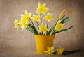Daffodils in a flowerpot yellow Stock Photography