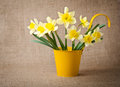 Daffodils in a flowerpot yellow Stock Photos
