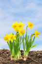 Daffodils in front of a blue sky Stock Photo