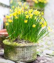 Daffodils growing in a basket Royalty Free Stock Photo