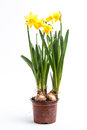 Daffodils growing bulbs pot white background Royalty Free Stock Photography