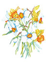Daffodils and jonquils flowers watercolor yellow white cluster of with green leaves Royalty Free Stock Image
