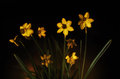 Daffodils low key presented in on a black background Stock Images