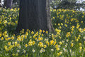 Daffodils and Oak Royalty Free Stock Photo
