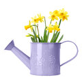 Daffodils in purple watering can isolated on white Royalty Free Stock Photos