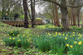 Daffodils by the river thames spring shillingford bridge on in oxfordshire Royalty Free Stock Photos