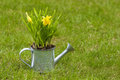 Daffodils in silver watering can on fresh green grass Royalty Free Stock Photo