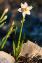 Daffodils at spring beautiful narcissus Stock Images