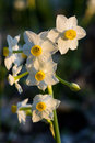 Daffodils at spring beautiful narcissus Royalty Free Stock Photography