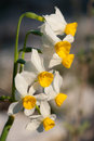 Daffodils at spring beautiful narcissus Stock Photography