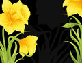 Daffodils spring on the black background Royalty Free Stock Photos
