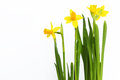 Daffodils spring cute photo with yellow Stock Images