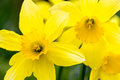 Daffodils on a spring day warm bright Royalty Free Stock Images