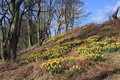 Daffodils on steep slope Stock Image