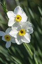 Daffodils three beautiful white with a blurred green background Stock Photo