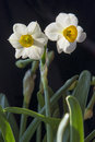 Daffodils Under Black Background