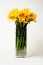 Daffodils in a vase square shaped on white background Stock Image