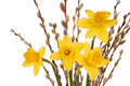 Daffodils on White Royalty Free Stock Photo