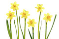 Daffodils on a white background Royalty Free Stock Photo