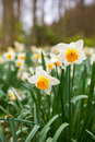 Daffodils white blooming in the forest Royalty Free Stock Images