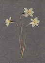 Daffodils white narcissus scanned herbarium textured brown paper Stock Photography