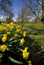 Dafodills on the banks of the river alne alcester Stock Photo