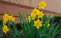Dafodils blooming in early spring Stock Images