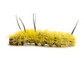 Dagger moth caterpillar american acronicta americana on a white background Stock Images