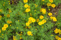 Dahlberg daisy yellow gold carpet gloden fleece in garden Stock Photography