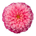 Dahlia beautiful pink flower plant Stock Image