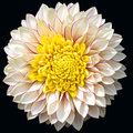 Dahlia - beauty of nature -  on black Royalty Free Stock Photo