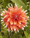 Dahlia bloom flower