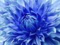 Dahlia blue  flower.  Macro. Motley big flower. Background from a flower. Royalty Free Stock Photo