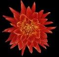 Dahlia Brightly Red  Flower, B...