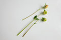 Dahlia buds green stems of on white Royalty Free Stock Image