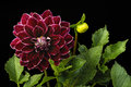 Dahlia cherry color (flowers on a black background) Royalty Free Stock Photo
