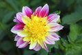 Dahlia dahlia the is a genus of flowering plants in the sunflower family asteraceae Royalty Free Stock Images