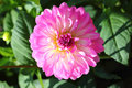 Dahlia dahlia the is a genus of flowering plants in the sunflower family asteraceae Stock Images