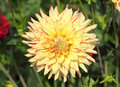 Dahlia dahlia the is a genus of flowering plants in the sunflower family asteraceae Stock Image