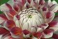 Dahlia dahlia x cultorum close up image of flower Royalty Free Stock Photos