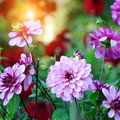 Dahlia in fall garden pink Stock Images
