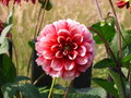 Dahlia flora flower nature Royalty Free Stock Photo