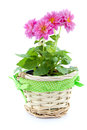 Dahlia flower in basket pink a on white Stock Photos