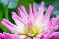Dahlia flower close up of pink Stock Photos