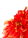 Dahlia flower close up of red Royalty Free Stock Photography