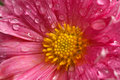 Dahlia flower close up with water droplets Royalty Free Stock Photo