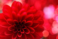Dahlia flower closeup on red Stock Image