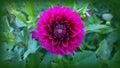 Dahlia flower, perfect symmetry Royalty Free Stock Photo